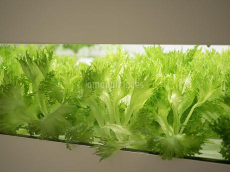 野菜工場 レタスの栽培の写真素材 [FYI03456908]