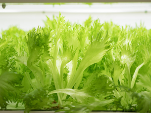 野菜工場 レタスの栽培の写真素材 [FYI03456910]