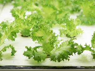 野菜工場 レタスの栽培の写真素材 [FYI03456911]