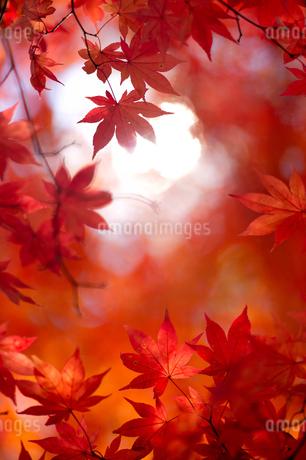 紅葉の写真素材 [FYI03457071]