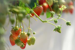 苺のイメージの写真素材 [FYI03457139]