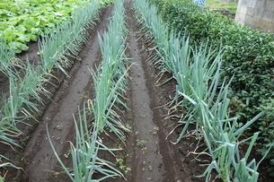 雨上がりのネギと山東菜の畑の写真素材 [FYI03457288]