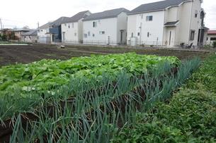 住宅街のネギと山東菜の畑の写真素材 [FYI03457290]