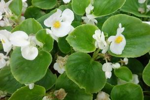 花壇に咲いた白いベゴニアの花の写真素材 [FYI03457302]