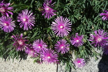 晴れた日の紫の孔雀アスターの花の写真素材 [FYI03457310]