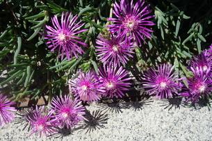 晴れた日の紫の孔雀アスターの花の写真素材 [FYI03457311]