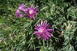 晴れた日の紫の孔雀アスターの花の写真素材 [FYI03457312]