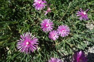 晴れた日の紫の孔雀アスターの花の写真素材 [FYI03457313]