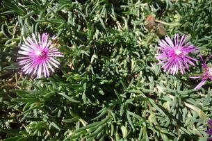 晴れた日の紫の孔雀アスターの花の写真素材 [FYI03457314]