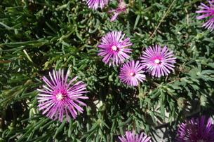 晴れた日の紫の孔雀アスターの花の写真素材 [FYI03457315]