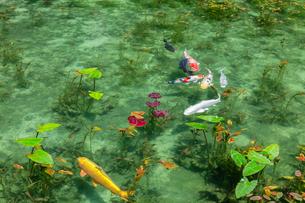 モネの池の写真素材 [FYI03457359]