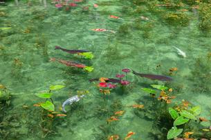 モネの池の写真素材 [FYI03457361]
