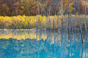 青い池と紅葉の写真素材 [FYI03457601]