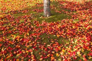 錦大沼公園のモミジの落ち葉の写真素材 [FYI03457616]