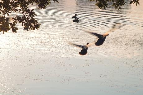飛び立つカモの写真素材 [FYI03457705]