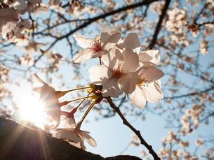桜の透過光の写真素材 [FYI03458014]
