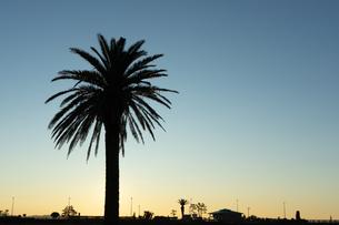湘南の海沿いで撮影した、ヤシの木のシルエットと朝焼けのコントラストがとても綺麗でした。の写真素材 [FYI03458031]