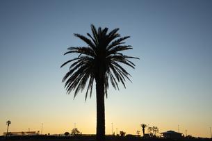ヤシの木のシルエットと朝焼けのコントラストの写真素材 [FYI03458035]
