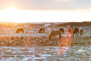 アイスランドホースと雪景色の写真素材 [FYI03458935]