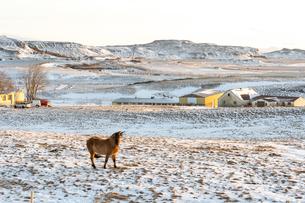 アイスランドホースと雪景色の写真素材 [FYI03458942]