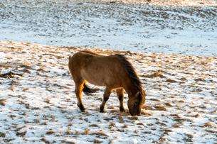 アイスランドホースと雪景色の写真素材 [FYI03458943]