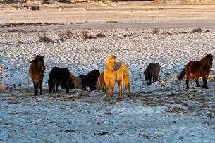 アイスランドホースと雪景色の写真素材 [FYI03458944]