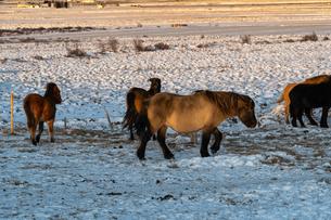 アイスランドホースと雪景色の写真素材 [FYI03458945]