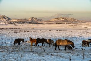 アイスランドホースと雪景色の写真素材 [FYI03458946]