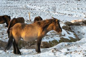 アイスランドホースと雪景色の写真素材 [FYI03458947]