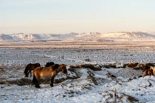 アイスランドホースと雪景色の写真素材 [FYI03458948]