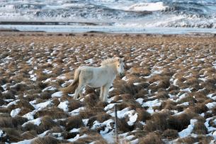 白いアイスランドホースと雪景色の写真素材 [FYI03458956]