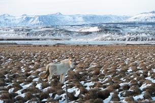 白いアイスランドホースと雪山の写真素材 [FYI03458957]