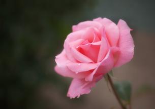 雫の付いたピンク色の薔薇の花の写真素材 [FYI03458999]