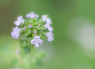 タイムの花の写真素材 [FYI03459000]