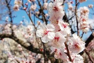 桜の写真素材 [FYI03459010]