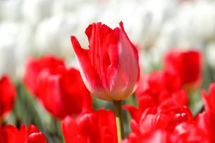 チューリップの花畑の写真素材 [FYI03459028]