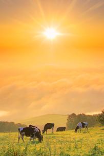 黒菱山から望む東方向の雲海とホルスタインと朝日の写真素材 [FYI03459081]