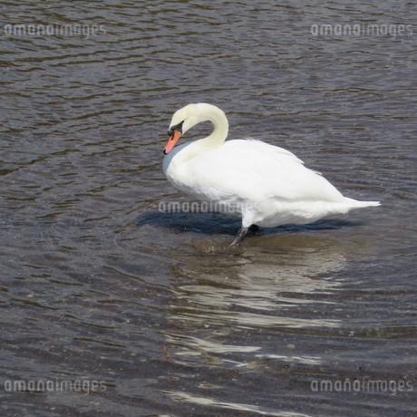 浅瀬を歩いている白鳥の写真素材 [FYI03459186]