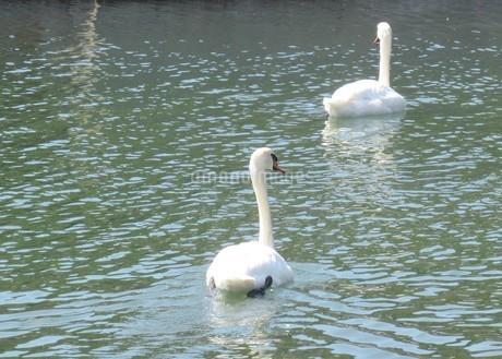 桟橋の近くで羽を休める二羽の白鳥の写真素材 [FYI03459187]