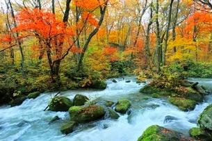 奥入瀬渓流 阿修羅の流れの紅葉の写真素材 [FYI03459310]