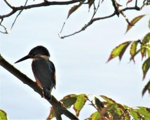 背を向けて木の枝に止まっているカワセミの写真素材 [FYI03459335]