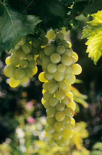 Chasselas grapeの写真素材 [FYI03461701]