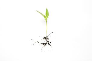 Seedlingの写真素材 [FYI03462596]