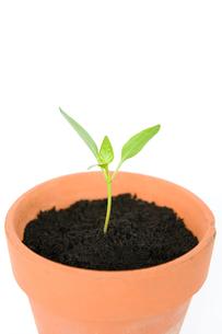 Seedling in a potの写真素材 [FYI03462598]