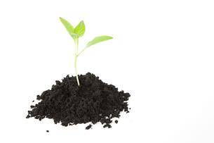 Seedling in soilの写真素材 [FYI03462600]