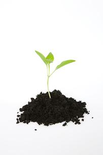 Seedling in soilの写真素材 [FYI03462601]
