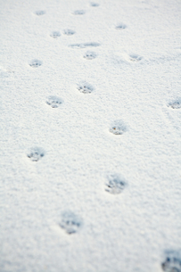 Animal tracks in the snowの写真素材 [FYI03465404]
