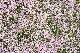 Pink flowersの写真素材 [FYI03466497]