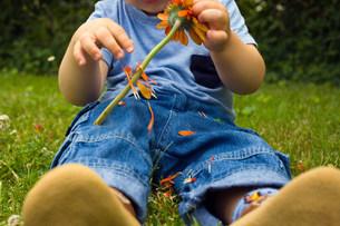 Baby boy picking petals off a flowerの写真素材 [FYI03467965]