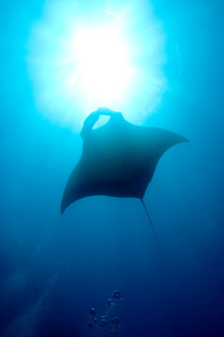 Silhouette of manta ray.の写真素材 [FYI03469801]